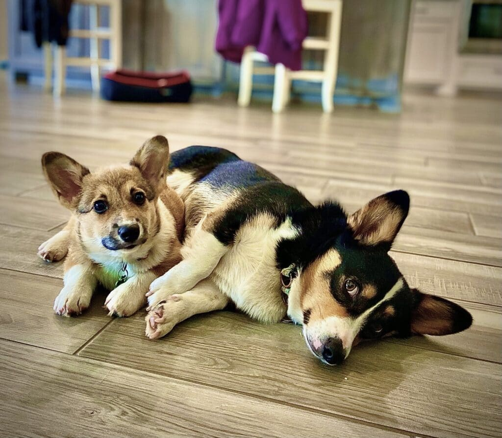 Two corgis- one a small light brown puppy and the other is a full grown black dog