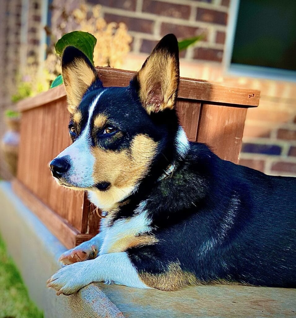 black corgi looking off into the distance