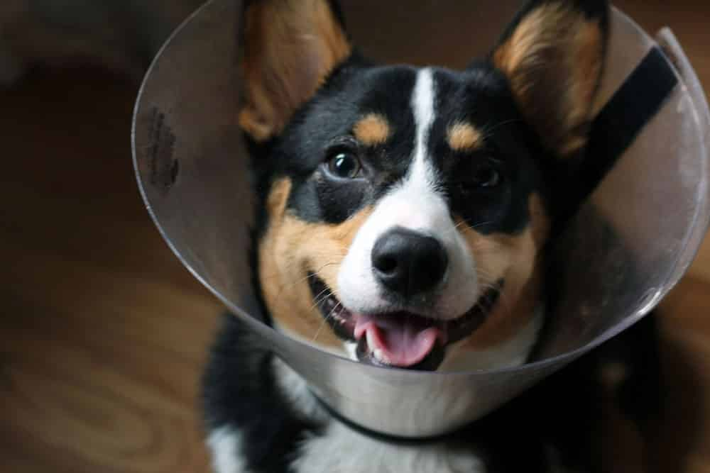 a black, brown, and white colored corgi dog with a plastic protective cone around his neck