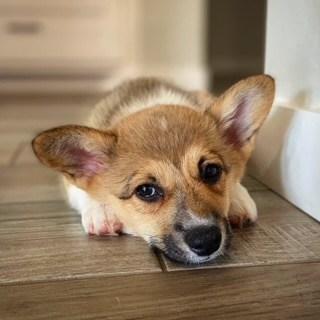 Small brown corgi puppy looking into camera
