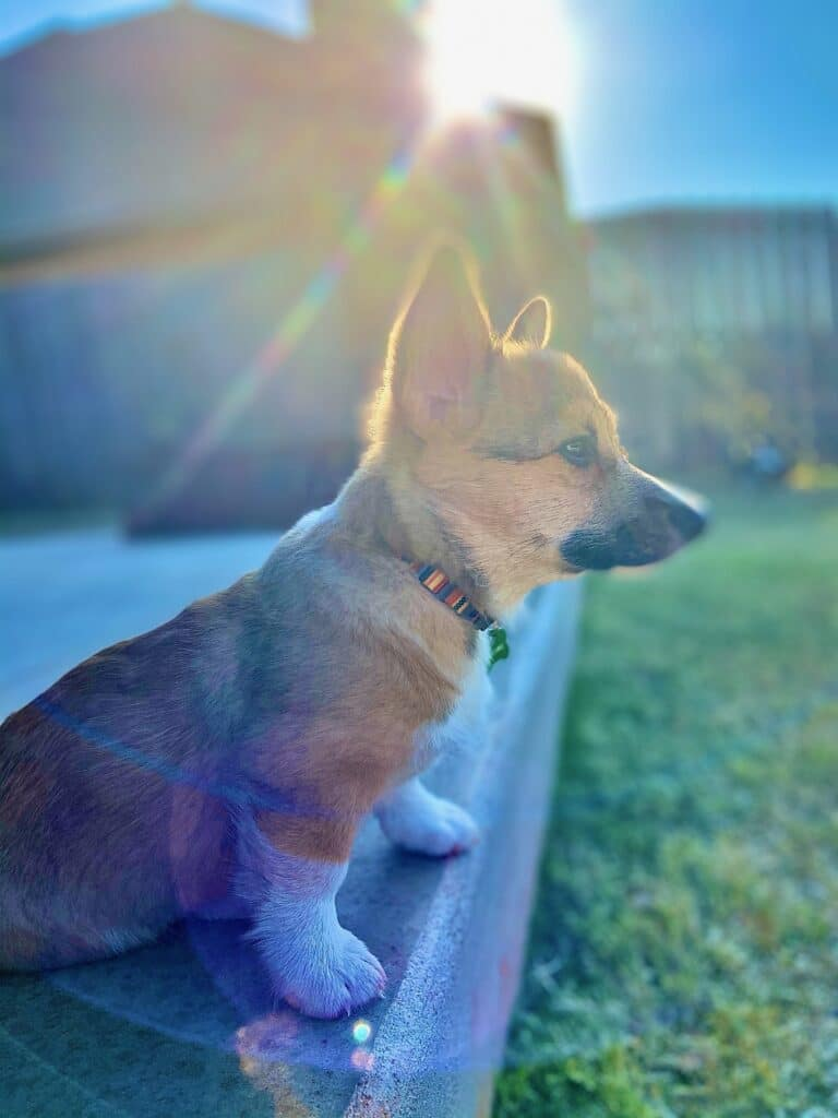 small brown corgi with sunlight beaming behind him